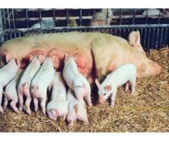 Повышение продуктивных качеств свиноматок и  интенсивности роста поросят