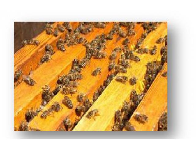 Тест-система для детекции американского  и европейского гнильцов пчел