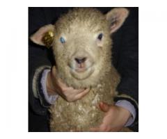 Улучшение мясной продуктивности овец