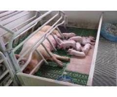 Способ повышения биологической доступности каротина  в рационах свиноматок