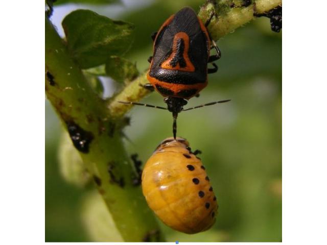 Применение биологических средств защиты растений на основе высокоэффект. популяций энтомоакарифагов
