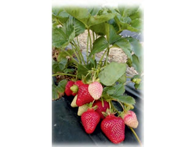 Ресурсосберегающие технологии орошения культуры земляники и виноградных саженцев,
