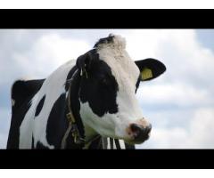 Современный комплексный дезинфицирующий препарат для обработки вымени коров,