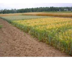 Создание и разработка технологии возделывания многолетнего зернокормового злака сорта Сова,