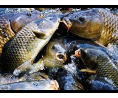 Использование каныги при нагуле карповой рыбы,
