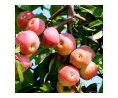 Создание иммунных к грибным болезням сортов яблони для эколого-защитной технологии возделывания,