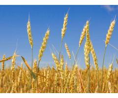 Создание ценных сортов яровой мягкой пшеницы,