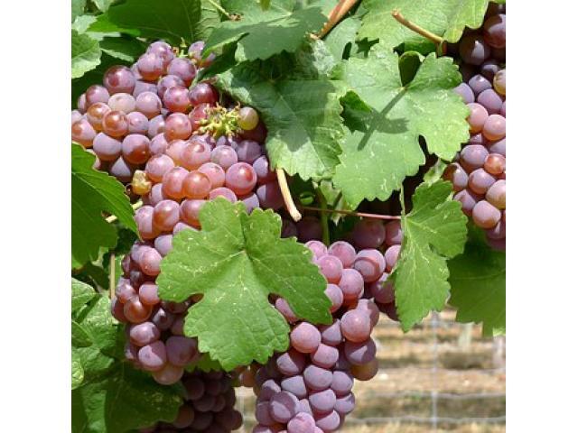 Способ получения биологически активной добавки из выжимки красных сортов винограда,