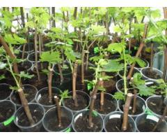 Биотехнологический способ оптимизации производства привитых саженцев винограда,