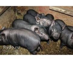 Разработка системы адаптации свиней вьетнамской вислобрюхой породы,