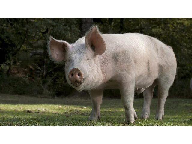 Способ деконтаминации кормов в свиноводстве,