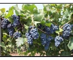 Три виноградных технических сорта-богатыря Фанагории,