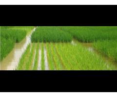 Создание и внедрение высокопродуктивных сортов риса,