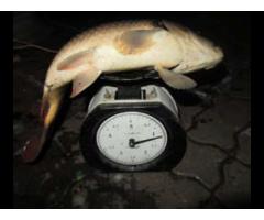 Способ повышения пищевой ценности прудовой рыбы,