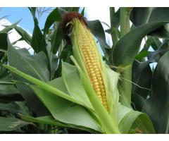 Микроэлементы в системе удобрения кукурузы,
