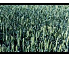 Внедрение сортов пшеницы мягкой яровой,