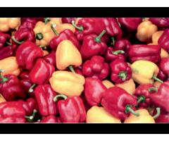 Эффективность выращивания рассады перца сладкого,