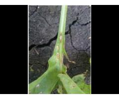 Оценка фитосанитарного состояния почвы,