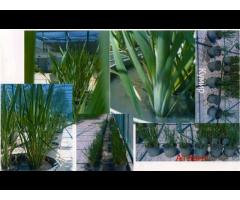 Создание и внедрение высокопродуктивных сортов и гибридов злаковых культур,