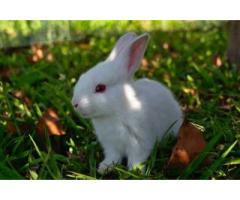 Способ повышения продуктивности молодняка кроликов,