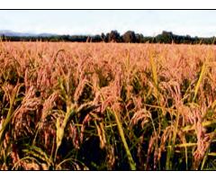 Агрохимия цинка в рисовом агроценозе,