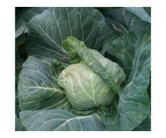 Новый сорт озимой белокочанной капусты ГОРЯНКА-5