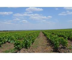 Новый сорт винограда - Янтарь дагестанский