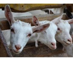Создание крупной механизированной  фермы молочных коз с законченным циклом производства продукции