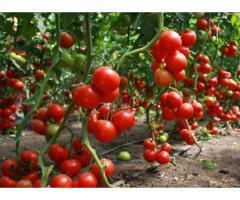 Режим орошения томата при капельном поливе в условиях защищенного грунта