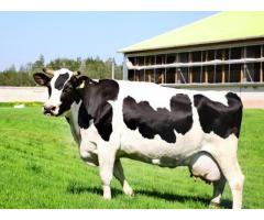 Рецепты долголетия коров,