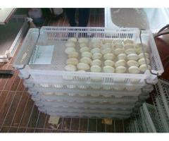 Дезинфекция гусиных яиц в фермерском хозяйстве,