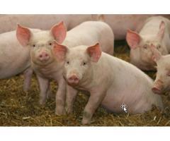 Воспроизводительные качества ремонтного молодняка свиней в зависимости от генотипа,