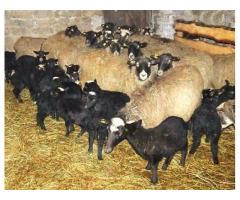 Использование  глицерина в кормлении  суягных и лактирующих овцематок  романовской породы,