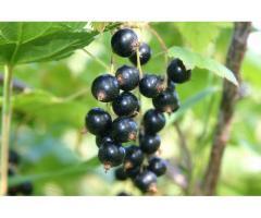 Смородина черная Амурский консервный. А.с.№25826,