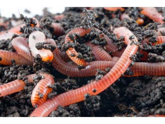 Разработка технологии культивирования гибрида дождевого червя (Красный калифорнийский червь) в услов