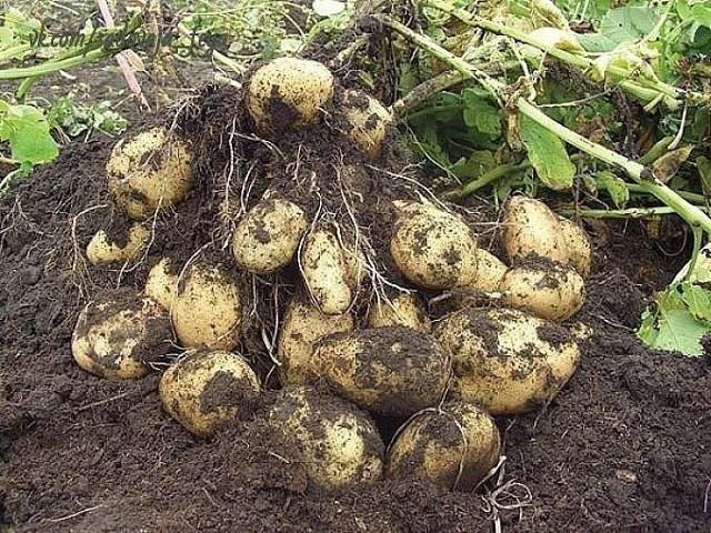Биологизация технологии возделывания картофеля в условиях Приамурья,
