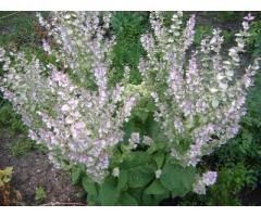 ШАЛФЕЙ МУСКАТНЫЙ Salvia sclarea L. Сорт С 785