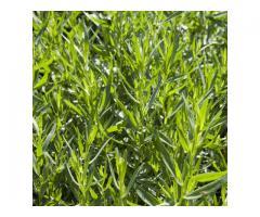 ПОЛЫНЬ эстрагон  Artemisia dracunculus L., Сорт Элеми