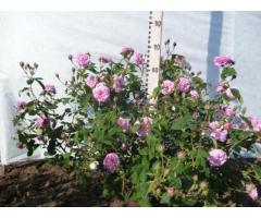 РОЗА ЭФИРОМАСЛИЧНАЯ,     Гибрид от скрещивания (Rosa damascene Mill.×Rosa galica L.)× (Rosa galica L