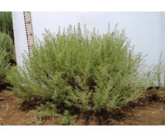 ПОЛЫНЬ эстрагон  Artemisia dracunculus L., Полынь крымская Artemisia taurica Willd  Сорт Киммерия,