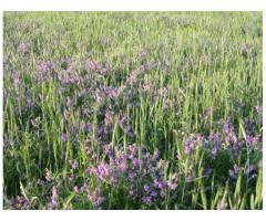 Бинарные посевы зерновых колосовых культур и подсолнечника,