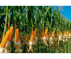 Внедрение в производство альтернативных технологий возделывания полевых культур,