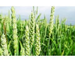 Создание исходного материала для селекции полевых культур (риса и пшеницы),