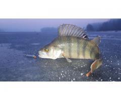 Интенсивная технология аквакультуры крупной формы евроазиатского окуня,