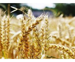 Технология возделывания зерновых колосовых и улучшения качества продукции в Чеченской Республике,