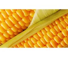 Гибрид кукурузы Маяк 95,