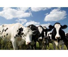 Инновационная технология воспроизводства крупного рогатого скота в условиях интенсивной системы прои