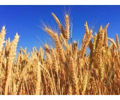 Пшеница озимая мягкая ЗИМУШКА,
