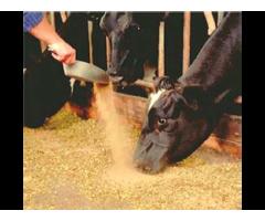 Использование экструдированных кормов в кормлении высокопродуктивных коров,