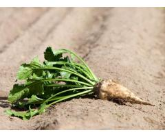 Биологизированные технологии выращивания сахарной свеклы,